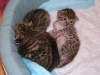 egyptian mau bronze litter 16.12.2011 14