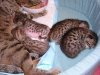 egyptian mau bronze litter 16.12.2011 8