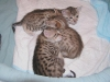 egyptian mau bronze litter 27.12.2011 1