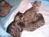 egyptian mau bronze litter 27.12.2011 3