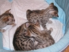 egyptian mau bronze litter 27.12.2011 5