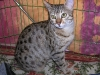 egyptian mau bronze litter 28.12.2011 2