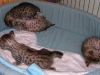 egyptian mau bronze litter 28.12.2011 4