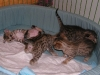 egyptian mau bronze litter 28.12.2011 6