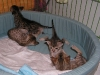 egyptian mau bronze litter 28.12.2011 8