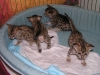 egyptian mau bronze litter 28.12.2011 10