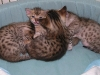 egyptian mau bronze litter 28.12.2011 13