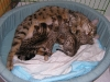 egyptian mau bronze litter 28.12.2011 15