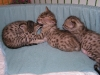 egyptian mau bronze litter 28.12.2011 17