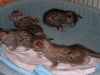 egyptian mau bronze litter 28.12.2011 21