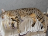 egyptian mau bronze female (Florina)
