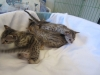 egyptian mau bronze litter 02.01.2012 1