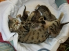 egyptian mau bronze litter 02.01.2012 3
