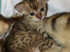egyptian mau bronze litter 02.01.2012 5