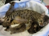egyptian mau bronze litter 02.01.2012 7