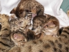 egyptian mau bronze litter 02.01.2012 9