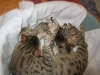 egyptian mau bronze litter 02.01.2012 11