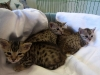 egyptian mau bronze litter 02.01.2012 13
