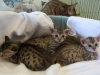 egyptian mau bronze litter 02.01.2012 15