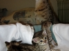 egyptian mau bronze litter 02.01.2012 17