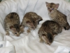 egyptian mau bronze litter 02.01.2012 19