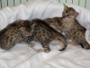 egyptian mau bronze litter 02.01.2012 21