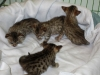 egyptian mau bronze litter 02.01.2012 25