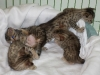 egyptian mau bronze litter 02.01.2012 27