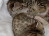 egyptian mau bronze litter 02.01.2012 29
