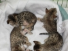 egyptian mau bronze litter 02.01.2012 31