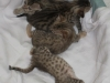 egyptian mau bronze litter 02.01.2012 33