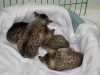 egyptian mau bronze litter 02.01.2012 35