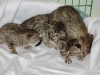 egyptian mau bronze litter 02.01.2012 37