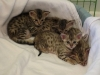 egyptian mau bronze litter 02.01.2012 39