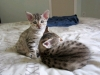 litter of bronze egyptian mau 19/01/2012 1