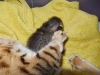 "5Egyptian mau bronze Male Kitten ""Amiel-Goshen Jesse at Twilight"" 2wk old"