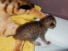 "Egyptian mau bronze Male Kitten ""Amiel-Goshen Jesse at Twilight"" 2wk old"