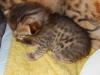 "Egyptian mau bronze Male Kitten ""Amiel-Goshen Jesse at Twilight"" 3wk old"