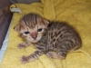 "Egyptian mau bronze Male Kitten ""Amiel-Goshen Jesse at Twilight"" 3wk old"