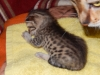 "Egyptian mau bronze Male Kitten ""Amiel-Goshen Jesse at Twilight"" 4wk old"