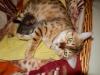 "Egyptian mau bronze Male Kitten ""Amiel-Goshen Jesse at Twilight"" 4wk old"
