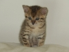 "Chaton Male Mau Egyptien Bronze ""Amiel-Goshen Jesse at Twilight"" a 7,8,9 semaine"