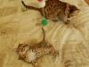 "Egyptian mau bronze Male Kitten ""Amiel-Goshen Jesse at Twilight"" 8,9 wks old"