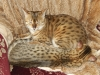 "Egyptian mau bronze Male Kitten ""Amiel-Goshen Jesse at Twilight"""