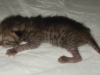 "Egyptian mau bronze Male Kitten ""Amiel-Goshen Jesse at Twilight"" 1wk old"