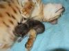 "Egyptian mau bronze Male Kitten ""Amiel-Goshen Jesse at Twilight"" 2wks old"