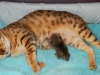 "Egyptian mau bronze Male Kitten ""Amiel-Goshen Jesse at Twilight"" 2wks  old"