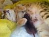 "Egyptian mau bronze Male Kitten ""Amiel-Goshen Jesse at Twilight"" 1wk old"