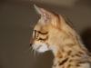 "Egyptian mau bronze Male Kitten ""Amiel-Goshen Jesse at Twilight"""