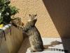 "Egyptian mau bronze Male Kitten ""Amiel-Goshen Jesse at Twilight"" 2wk old"